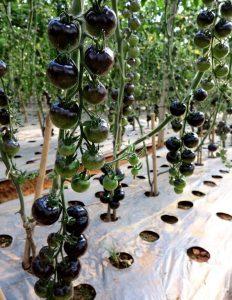 Hướng dẫn cách ghép cà chua đen tạo cơn sốt tại Đà Lạt