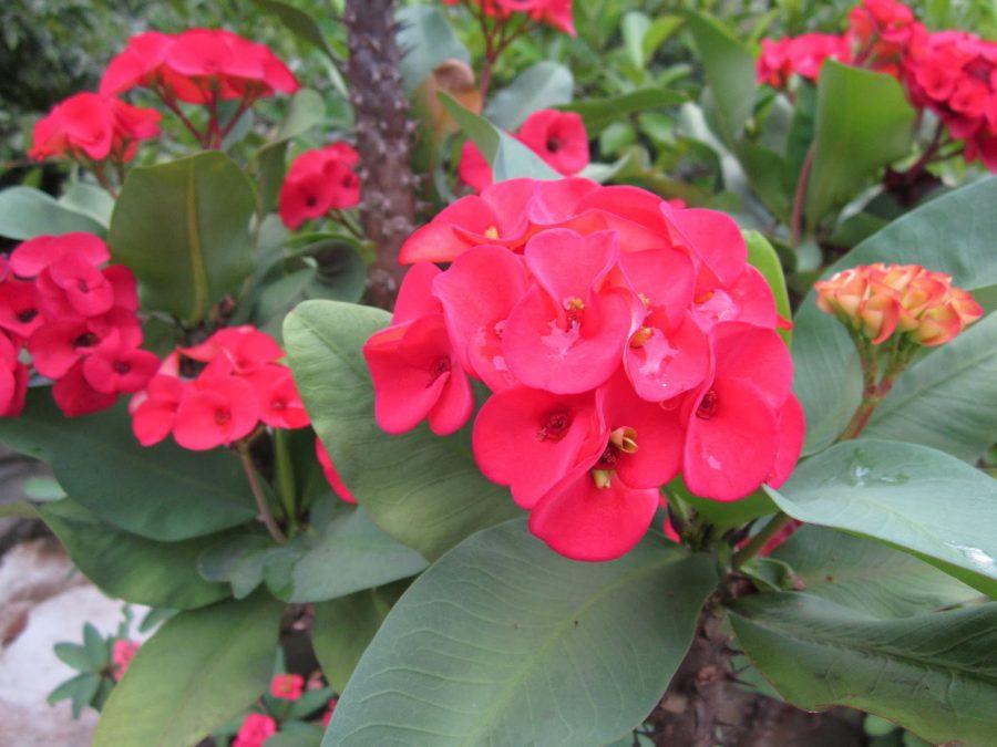 Hướng dẫn cách ghép hoa bát tiên lên gốc xương rồng