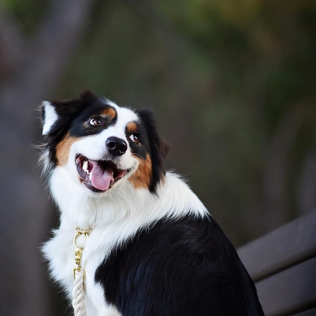 17 lý do nên nuôi chó chăn cừu Úc