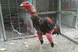 Cách ngâm rượu bóp cho gà chọi hiệu quả nhất
