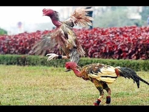 Cách nuôi gà chọi chiến như thế nào?
