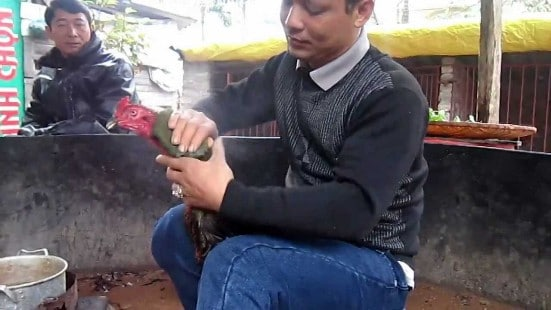 Cách nuôi gà chọi nhanh lớn để làm giàu chỉ trong 'chớp mắt'